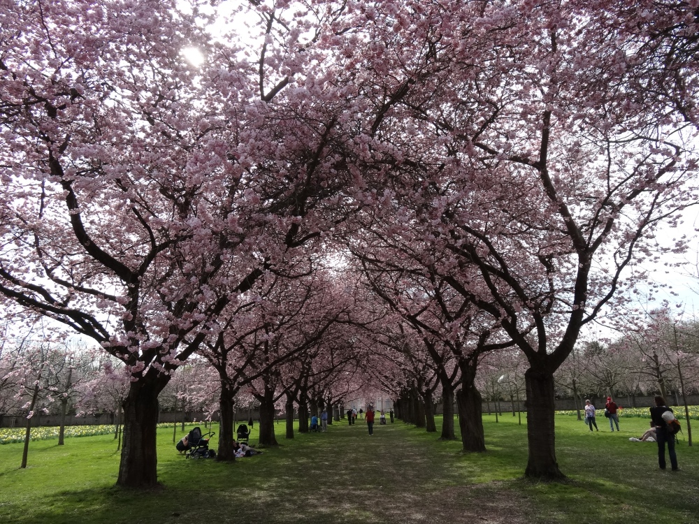 Cherry trees in the schlossgarten