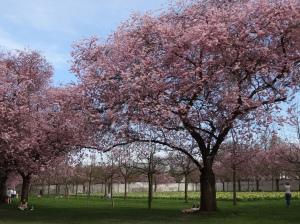 Sakura in Schwetzingen Schlossgarten