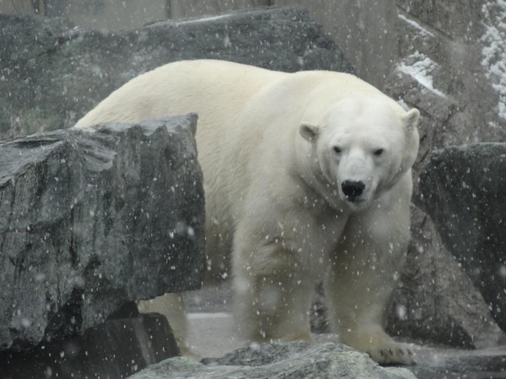 Polar bear Anton. February 26, 2013, Stuttgart.