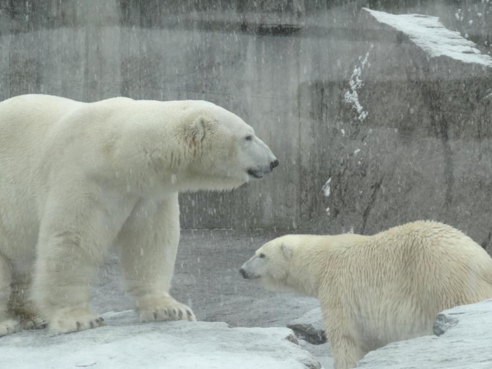 The polar bear couple