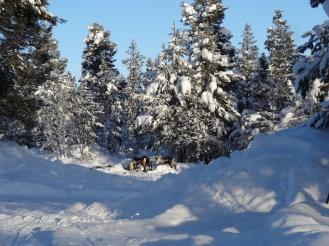 Spotting wild reindeer