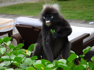 Dusky leaf monkey can't stop nomming!