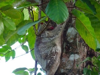 Colugo about to sleep