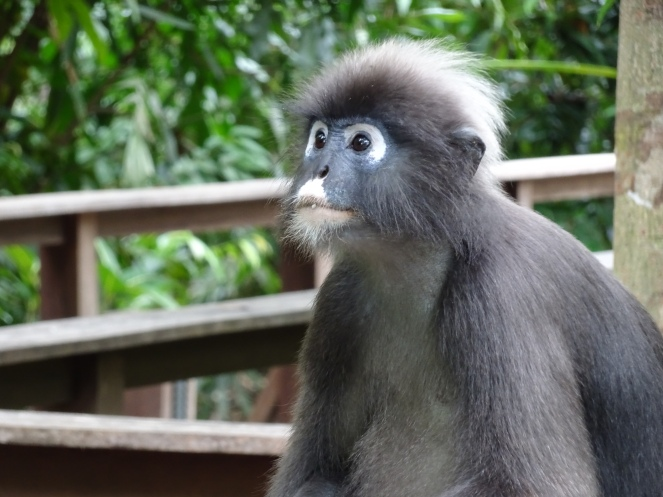 Also known as the Spectacled Langur