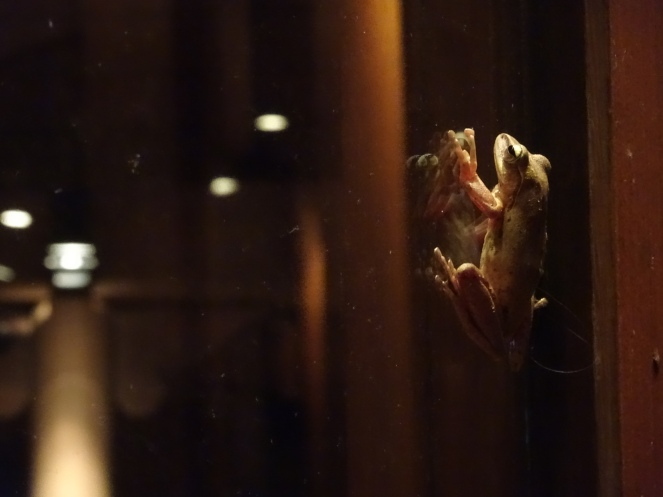 This tree frog totally reminds me of the chocolate frog from Harry Potter one, you know, the train scene?