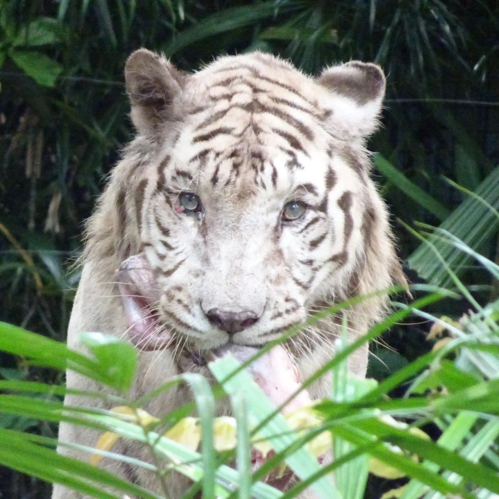 Is it just me or does this white tiger look like it's sick?