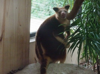 This is still a tree kangaroo right?