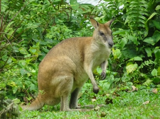 I can't tell if this is a young kangaroo or a wallaby...