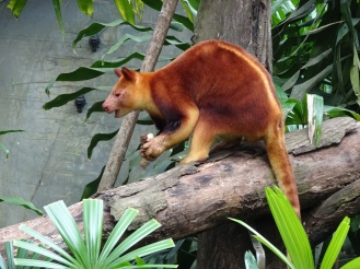 This is a tree kangaroo – I had never seen one before!