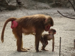 The Hamadryas baboons are known for their bright red bums