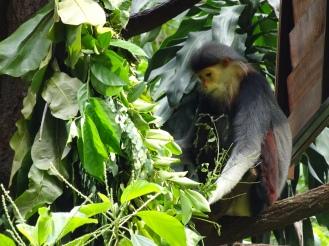 A douc langur monkey nomming
