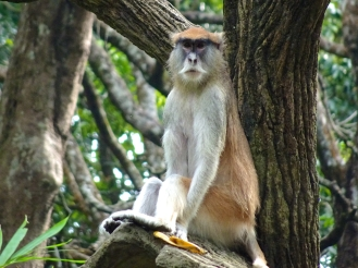 I think this is a Patas monkey