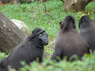 "Sulawesi crested macaque on the left: ""I think someone is watching us..."""
