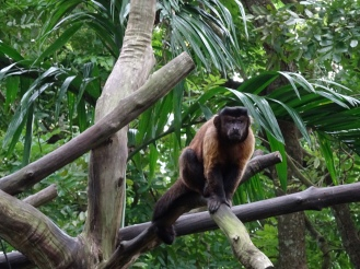 A brown capuchin
