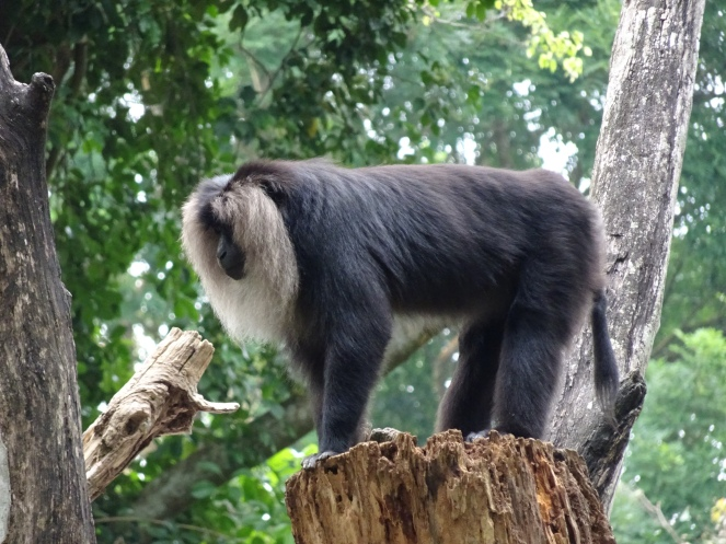 A Lion....tailed macaque King moment