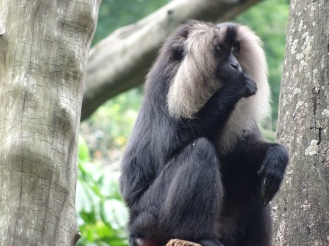 The lion-tailed macaque – I think its hair also looks lion-ish!