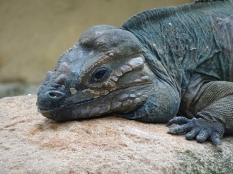 The rhino iguana was more impressive than the Komodo dragon!