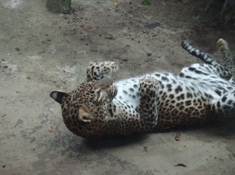 Leopards also need belly rubs